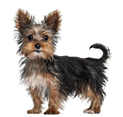 yorkshire-terrier-21.jpg
